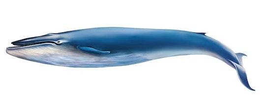 Illustration af blåhval på hvid baggrund