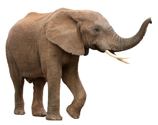 Elefant på hvid baggrund
