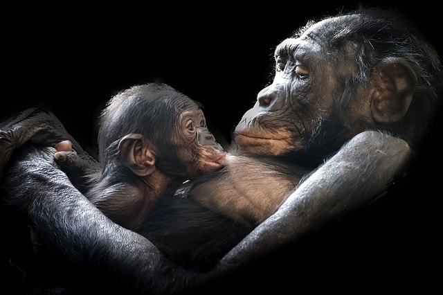 Gorilla med gorillabør