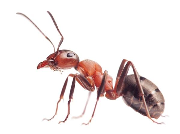Stående myre på hvid baggrund